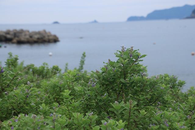 咲き誇るハマボウの花(その2)(撮影:7月13日)_e0321325_15304196.jpg