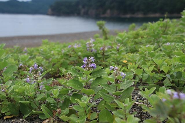 咲き誇るハマボウの花(その2)(撮影:7月13日)_e0321325_15330434.jpg