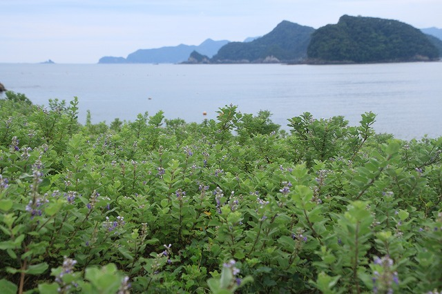 咲き誇るハマボウの花(その2)(撮影:7月13日)_e0321325_15334597.jpg
