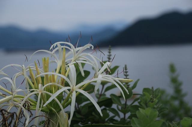 咲き誇るハマボウの花(その2)(撮影:7月13日)_e0321325_15345022.jpg
