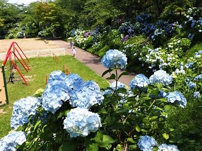 大仏公園のあじさい_2020.07.18_d0131668_10573661.jpg