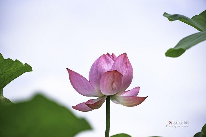 Lotus #上を向いて_f0326278_21325888.jpg
