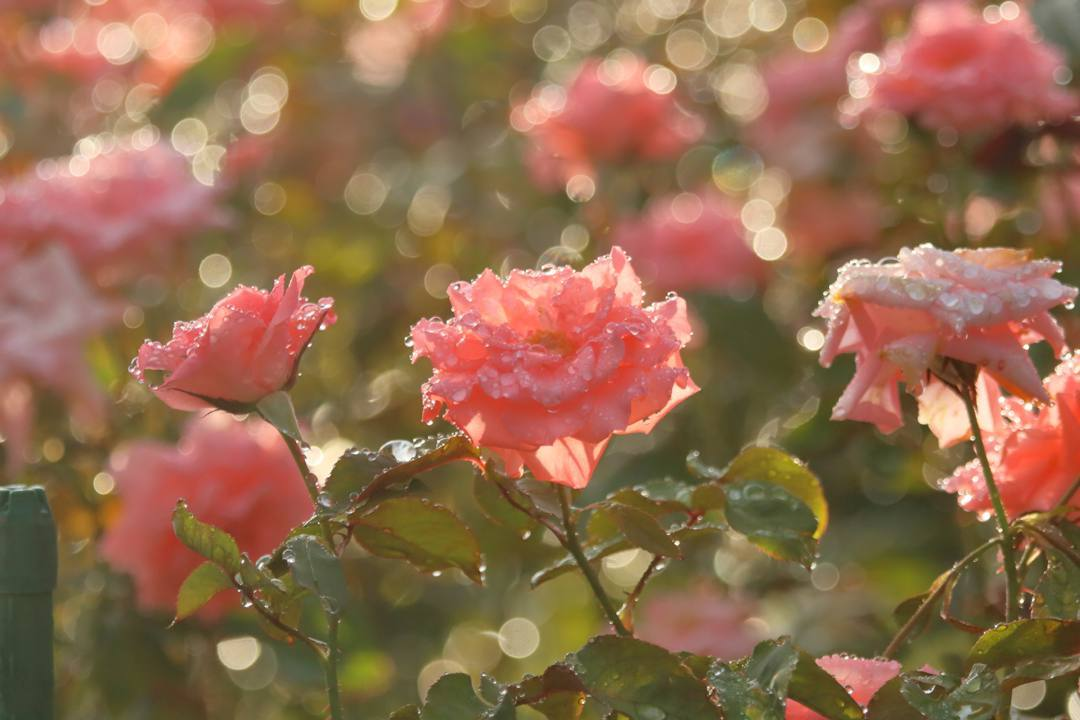 ピンクの薔薇_e0403850_20454325.jpg