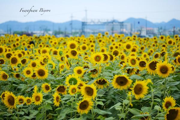 夏の花と言えば ひまわり **_d0344864_20584584.jpg