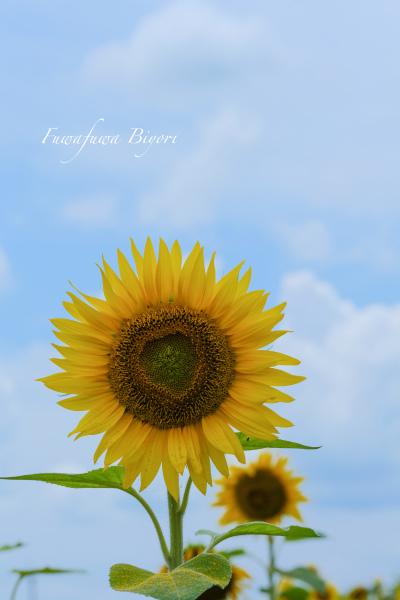 夏の花と言えば ひまわり **_d0344864_20585867.jpg