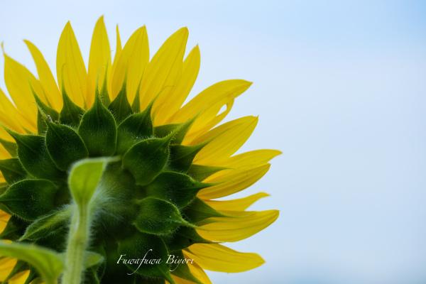 夏の花と言えば ひまわり **_d0344864_20593305.jpg
