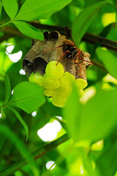 アシナガバチ - 蛍光グリーンな巣 -_a0024167_12275312.jpg