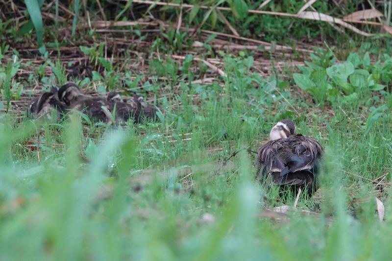 カワセミやクロツラヘラサギも見れました!~7/23の鳥情報~_e0046474_17315245.jpg