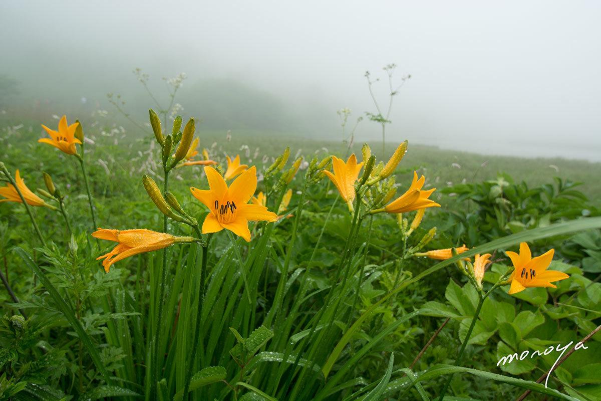 夏の花〜ニッコウキスゲ_c0085877_06023647.jpg