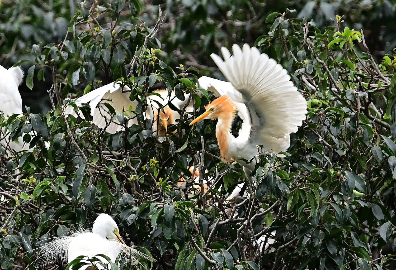 アマサギ:幼鳥のコロニー_e0362696_16511811.jpg