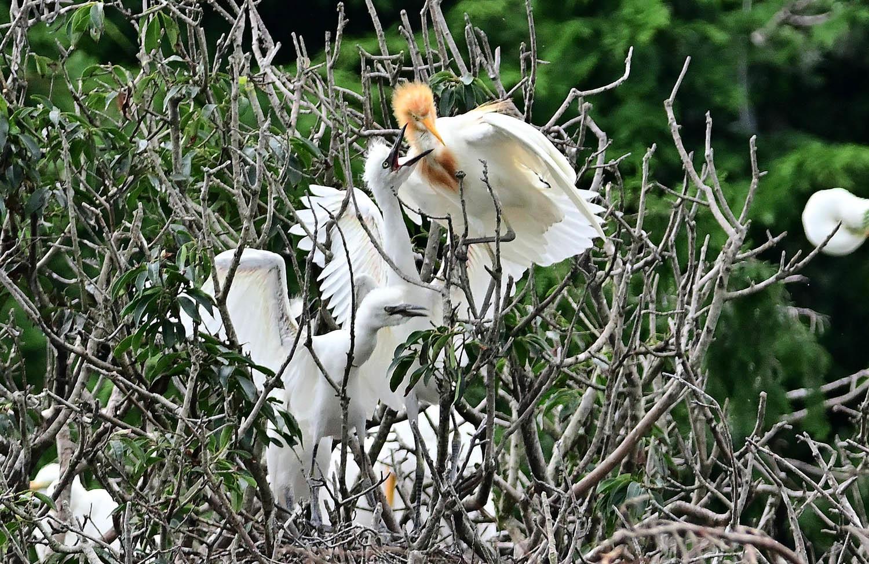 アマサギ:幼鳥のコロニー_e0362696_16514566.jpg