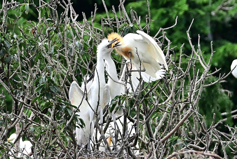 アマサギ:幼鳥のコロニー_e0362696_16521936.jpg