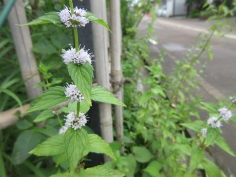薄荷の花・畑のねこなど_a0203003_09233465.jpg
