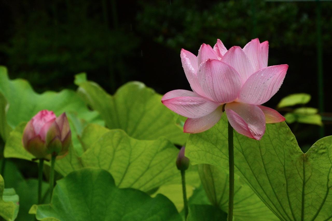 我が家の 花たち_e0099737_13332131.jpg