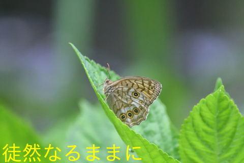 オオヒカゲ・キマダラモドキ・アカセセリ_d0285540_16444053.jpg