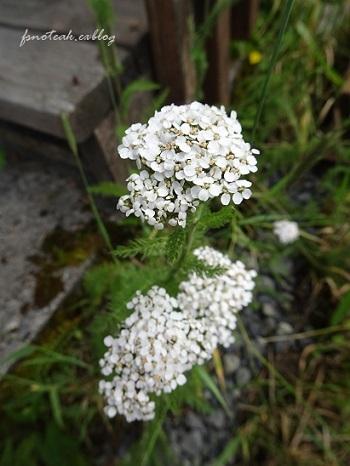 家の周りの花達 追記2件_d0356844_03380840.jpg