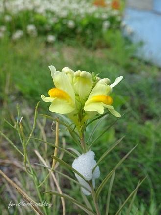 家の周りの花達 追記2件_d0356844_03413102.jpg