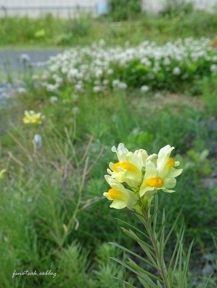 家の周りの花達 追記2件_d0356844_03435718.jpg