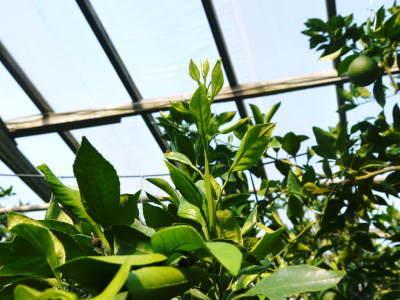 デコポン(肥後ポン) 摘果&玉吊り作業後の成長の様子を現地取材(2020)_a0254656_16590574.jpg