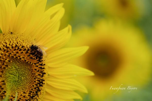 ミツバチとひまわり **_d0344864_19441870.jpg