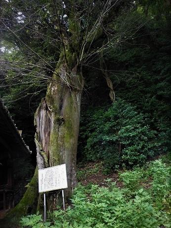 安浦に残るムクノキの巨樹_e0175370_12302590.jpg