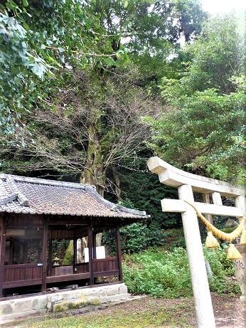 安浦に残るムクノキの巨樹_e0175370_12303365.jpg