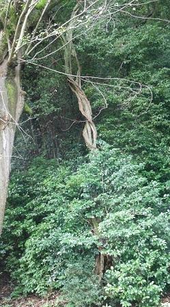 安浦に残るムクノキの巨樹_e0175370_12304953.jpg