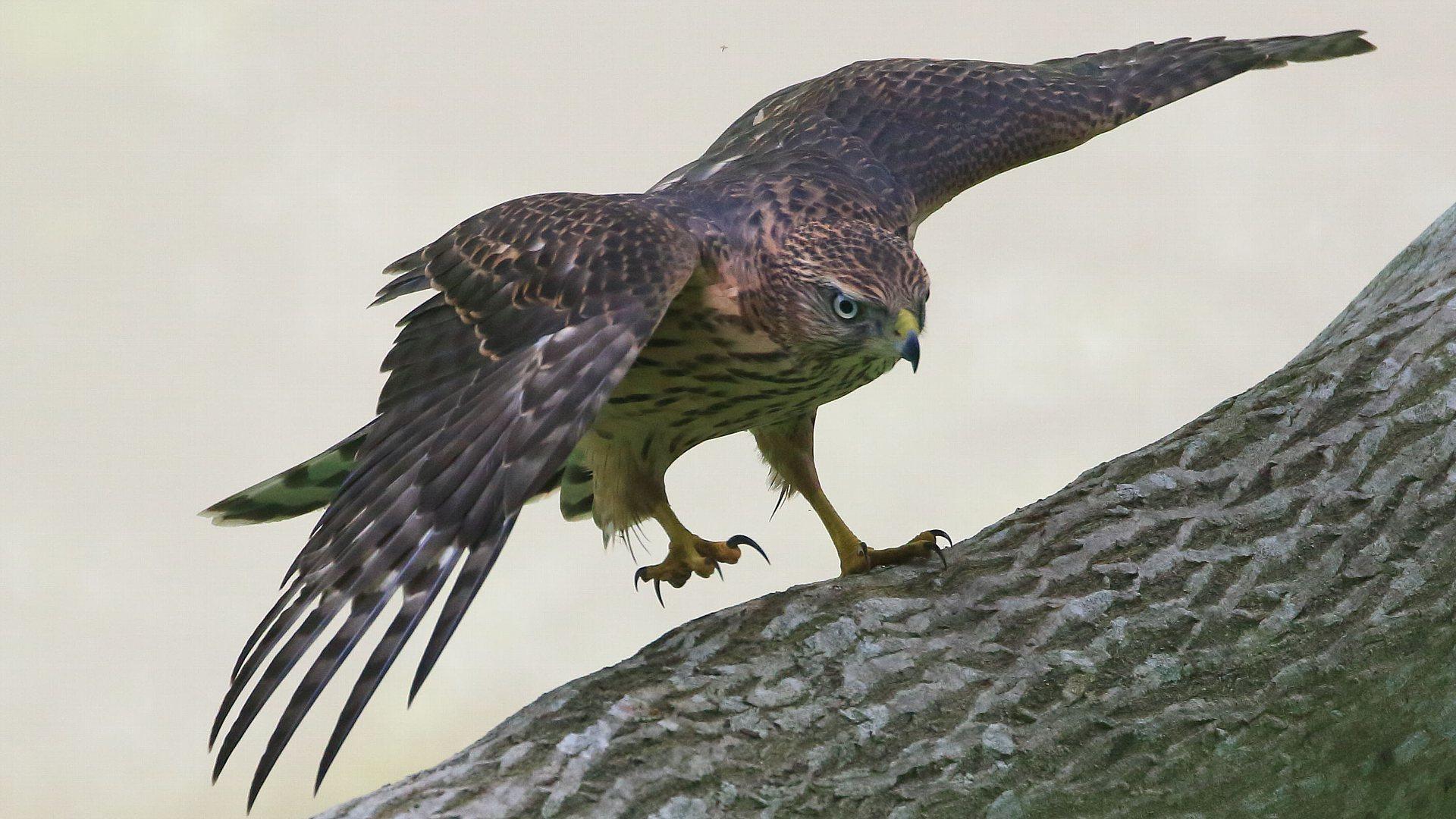 またまたオオタカ幼鳥!_f0105570_21261604.jpg
