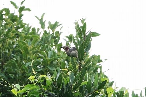 コムクドリがよく見られていますよー~7/24の鳥情報~_e0046474_18534351.jpg