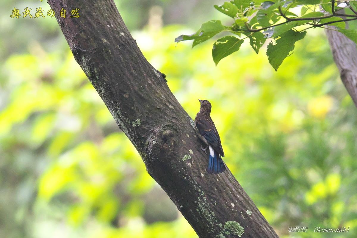 オオルリ(幼鳥)_e0268015_19340947.jpg