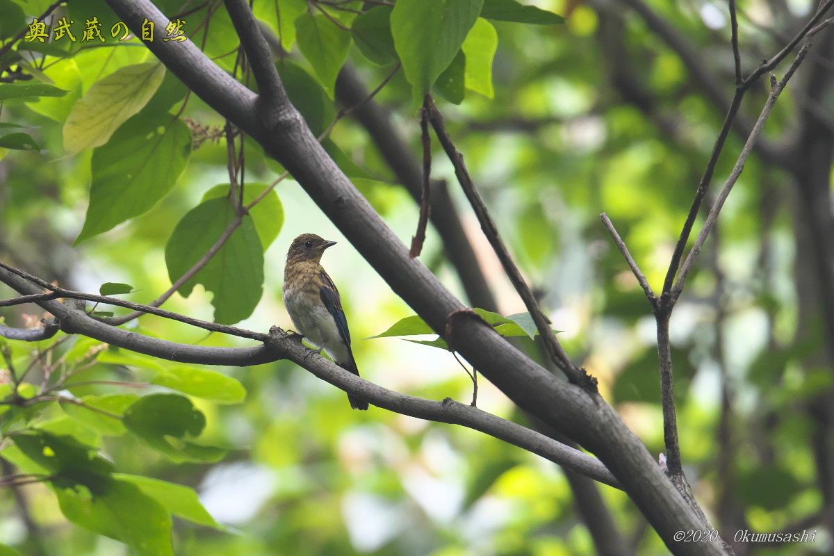 オオルリ(幼鳥)_e0268015_19343263.jpg