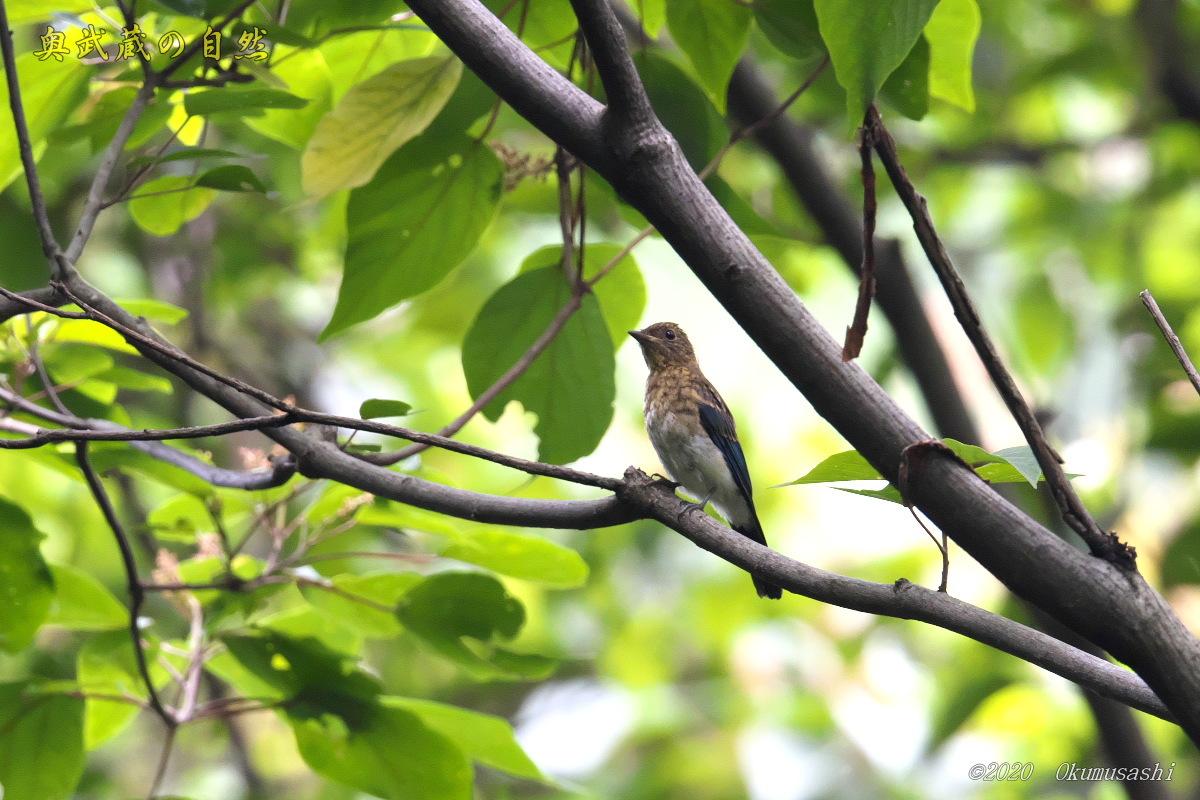 オオルリ(幼鳥)_e0268015_19344305.jpg