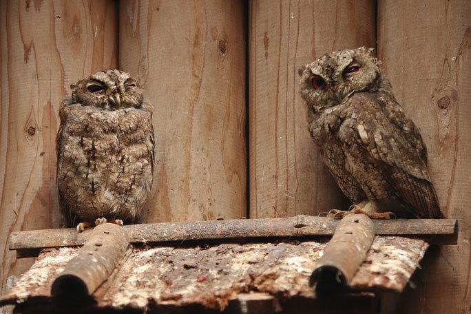 井の頭の鳥たち~オオコノハズクの子供たちとニホンキジ一家(August 2019)_b0355317_12052161.jpg
