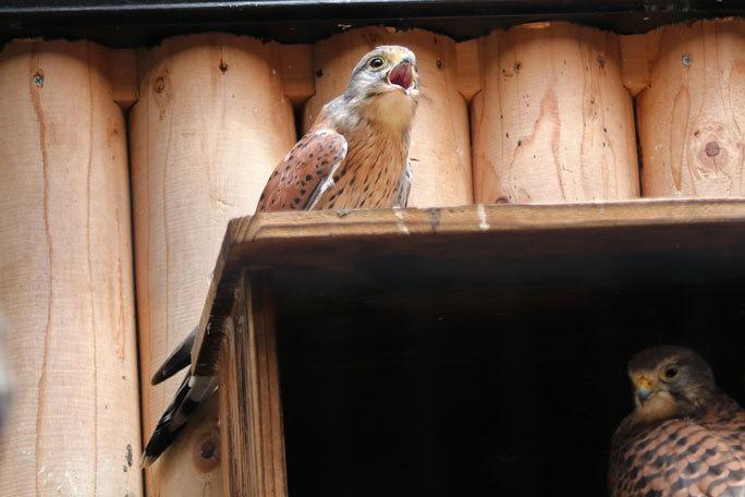 井の頭の鳥たち~オオコノハズクの子供たちとニホンキジ一家(August 2019)_b0355317_12204792.jpg