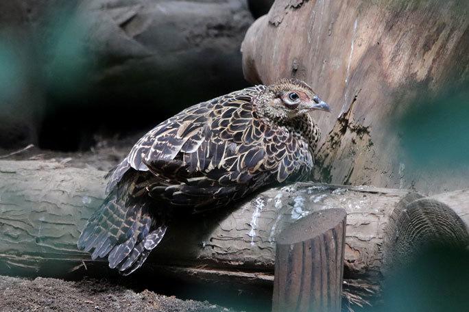 井の頭の鳥たち~オオコノハズクの子供たちとニホンキジ一家(August 2019)_b0355317_12252573.jpg