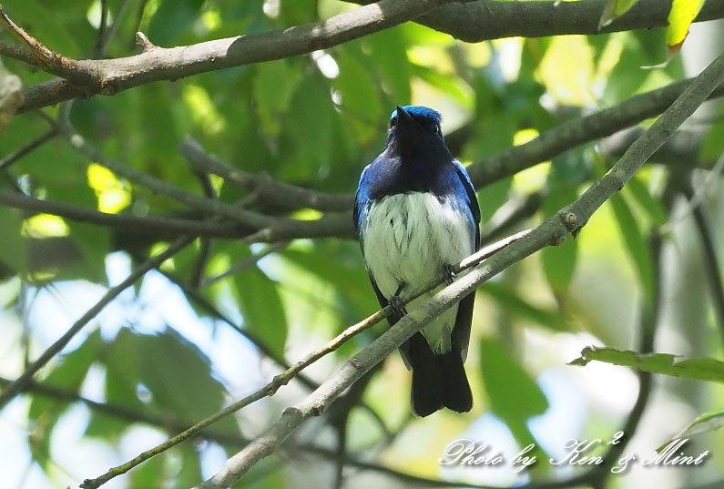 夏鳥代表「オオルリ」さん♪ 思わぬ場所で遭遇^^ ー在庫からー_e0218518_18141454.jpg