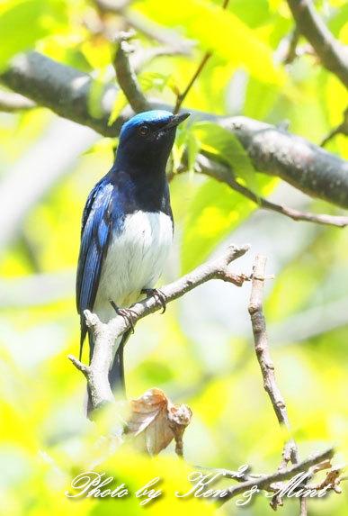 夏鳥代表「オオルリ」さん♪ 思わぬ場所で遭遇^^ ー在庫からー_e0218518_18143314.jpg