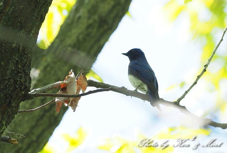 夏鳥代表「オオルリ」さん♪ 思わぬ場所で遭遇^^ ー在庫からー_e0218518_18144786.jpg