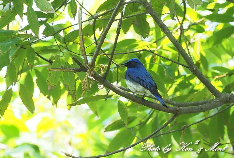 夏鳥代表「オオルリ」さん♪ 思わぬ場所で遭遇^^ ー在庫からー_e0218518_18145913.jpg