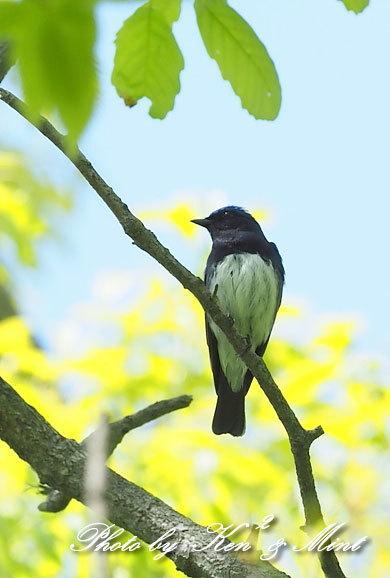 夏鳥代表「オオルリ」さん♪ 思わぬ場所で遭遇^^ ー在庫からー_e0218518_18151586.jpg