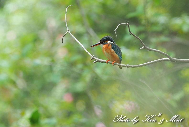夏鳥代表「オオルリ」さん♪ 思わぬ場所で遭遇^^ ー在庫からー_e0218518_18152798.jpg