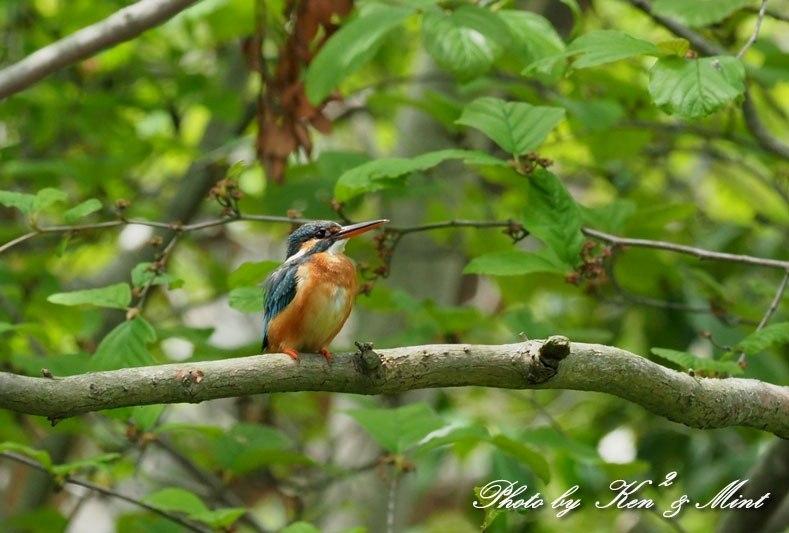 夏鳥代表「オオルリ」さん♪ 思わぬ場所で遭遇^^ ー在庫からー_e0218518_18154235.jpg
