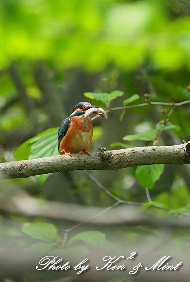 夏鳥代表「オオルリ」さん♪ 思わぬ場所で遭遇^^ ー在庫からー_e0218518_18160105.jpg