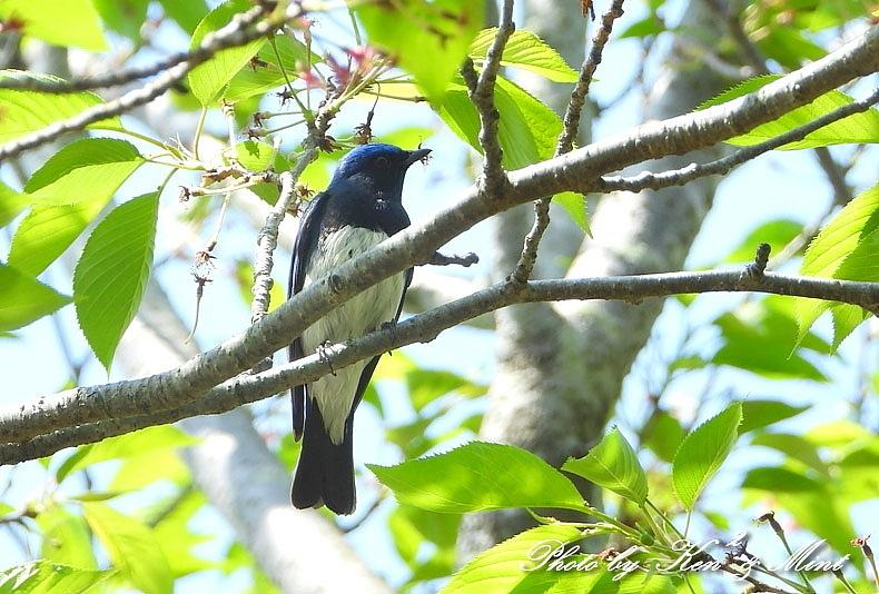 夏鳥代表「オオルリ」さん♪ 思わぬ場所で遭遇^^ ー在庫からー_e0218518_18403663.jpg