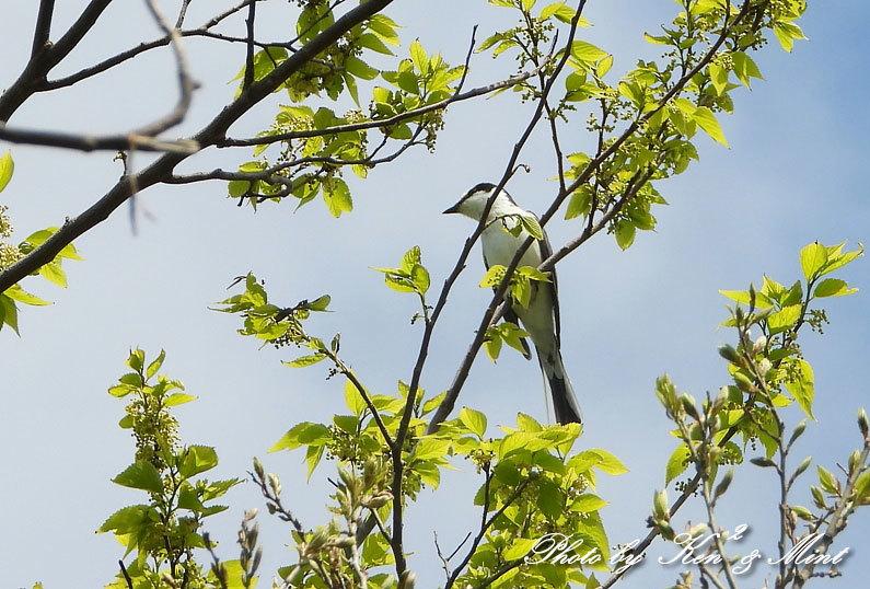 夏鳥代表「オオルリ」さん♪ 思わぬ場所で遭遇^^ ー在庫からー_e0218518_18405224.jpg