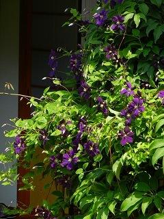 テッセンが咲いていた庭_d0206920_08543703.jpg