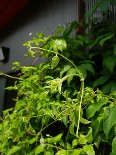 テッセンが咲いていた庭_d0206920_08543745.jpg