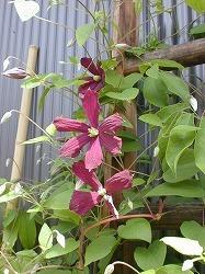 テッセンが咲いていた庭_d0206920_08543819.jpg
