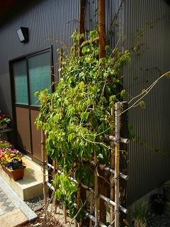 テッセンが咲いていた庭_d0206920_09493385.jpg