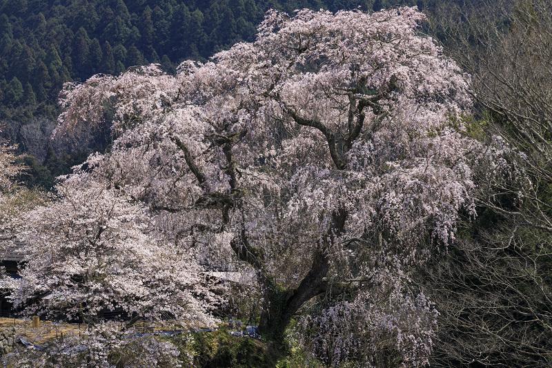 2020桜咲く奈良 大照寺跡の枝垂れ桜_f0155048_224115.jpg